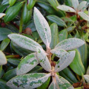 Vřesovištní rostliny